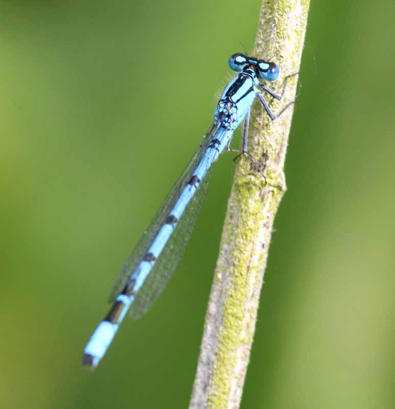 Blue banded damselfly1-800