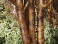 Copper Birch-800