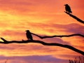 SD-Rooks2 at dawn-Time-Oct-2016-700